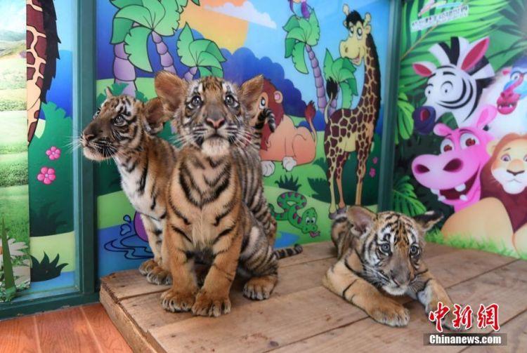 杭州华南虎三胞胎满三个月 呆萌可爱