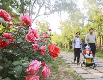 美翻天!5月的滨州市区被竞相绽放的月季点缀