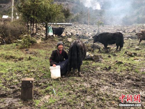 央宗正在挤牦牛奶。 中新网 王禹 摄
