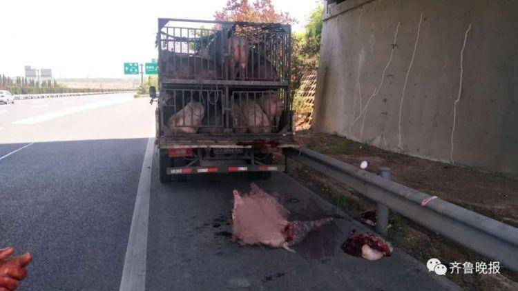 嫌猪不听话 货车司机高速上提刀杀猪吓坏路人!