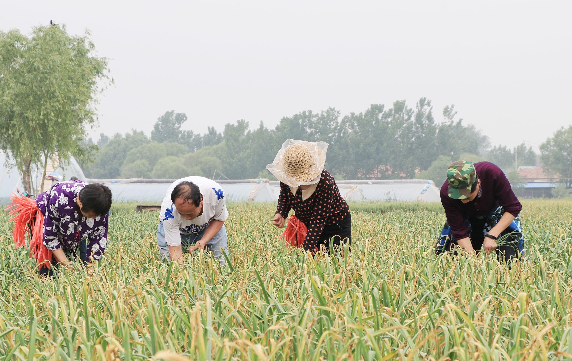济南:蒜薹收获季 农民采收忙