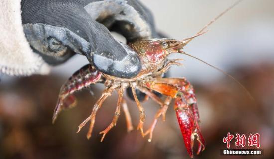 横行霸道迅速繁殖 德国小龙虾终于被摆上了餐桌