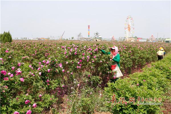 农民在玫瑰小镇产业园里采摘玫瑰花瓣.jpg