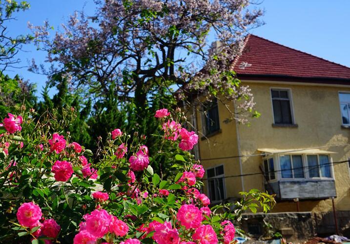 五月青岛蔷薇花开 浪漫了老院的墙头
