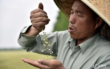 """临沂""""鲁南粮仓""""小麦丰收在望 水稻育秧忙"""