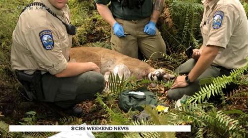 美西雅图市郊外发生美洲狮袭人事件 一人被咬死