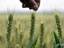 小满时节临沂鲁南粮仓小麦丰收在望 水稻育秧忙