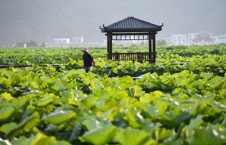 这是5月21日在广西柳州市柳江区百朋镇拍摄的荷塘美景.