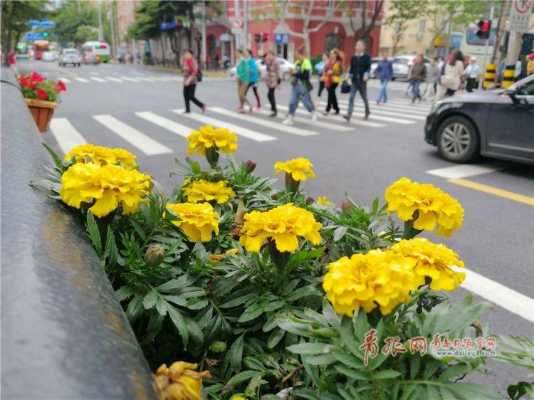 """五彩缤纷鲜花装点 青岛市区街道呈现新""""绿景""""(图)"""