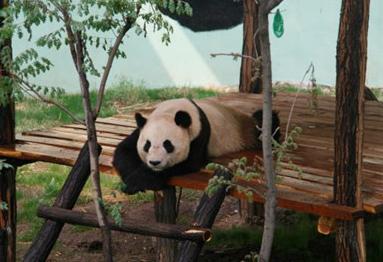 """在淄博如月湖湿地生活6年后 熊猫""""珍大""""、""""双儿""""不得不……"""