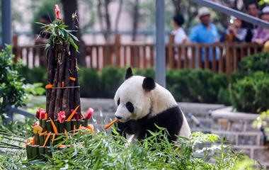 济南4岁大熊猫开生日趴 引游客围观