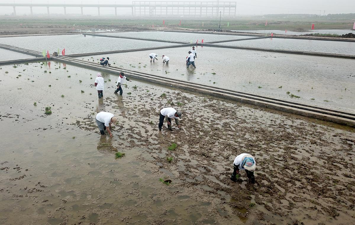 """""""青岛造""""海水稻走向全国 五大类盐碱地试种"""