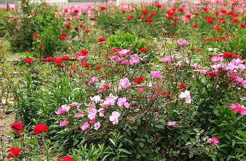 野蔷薇2_副本