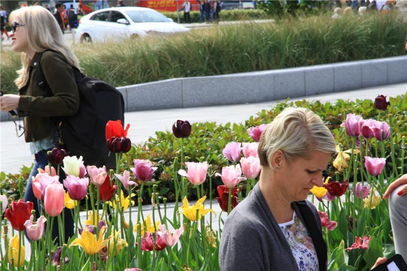 8、郁金香是荷兰的国花
