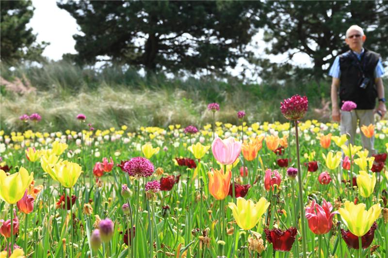 9、据导游介绍:从17世纪开始,荷兰不断引进郁金香并经多年培育现已达近万个品种