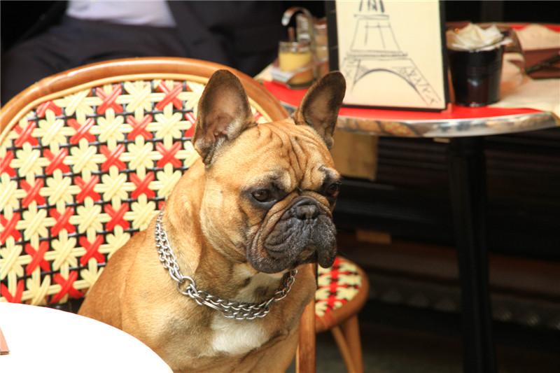 68、在吧凳上乖乖等待主人的狗狗