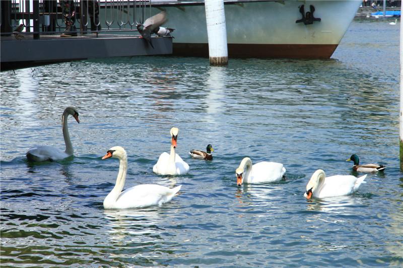 86、琉森湖里自由自在觅食的天鹅