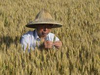 夏收农忙好风光!山东聊城小麦即将开镰