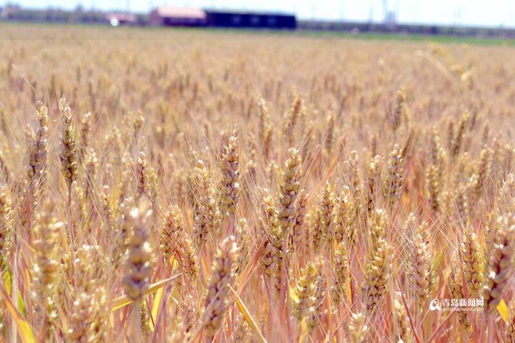 组图:又见金色麦浪 青岛本地小麦本月上旬进入收割期
