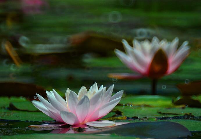 小西湖睡莲花开美如梦境 娇嫩花朵成独特夏日美景