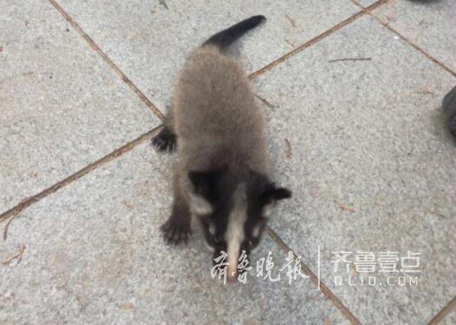 认识吗?济南市民在千佛山发现这个小动物,还会嗷嗷叫