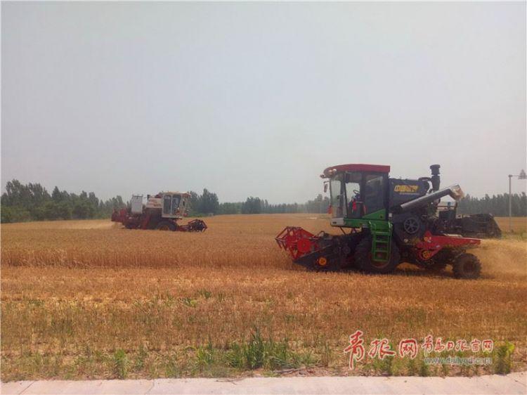 组图:麦收季金满地 青岛小麦即将进入大规模收割期