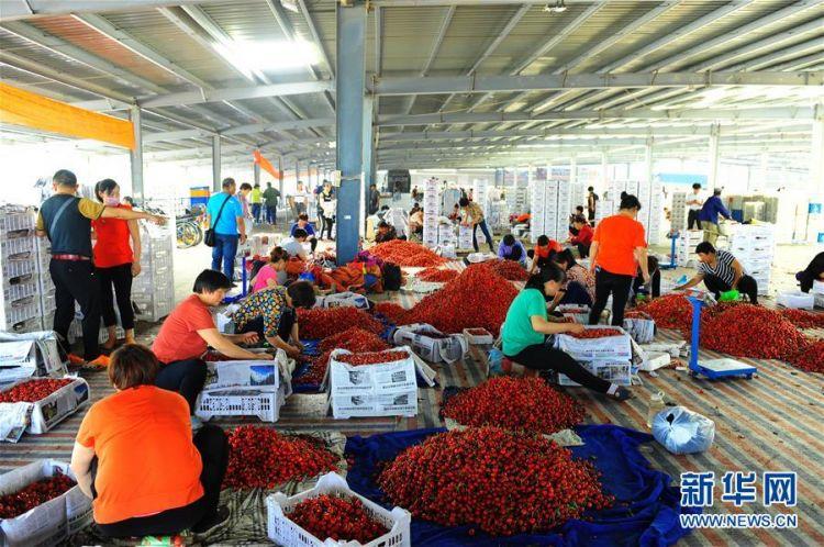山东烟台:樱桃产业助力乡村振兴
