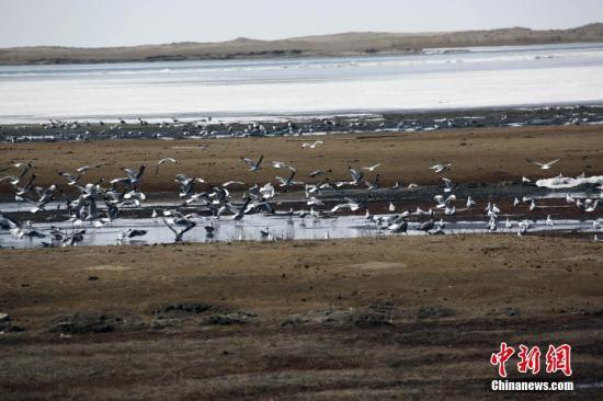 青海湖万余夏候鸟进入筑巢繁殖期 部分栖息地发生变化