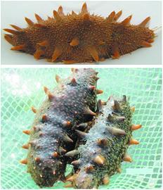 青岛海鲜再添五朵小金花 刺参、对虾新品种获批(图)