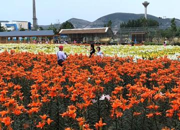 旗袍、插花、书法精彩纷呈 枣庄第二届百合文化旅游节热闹开场