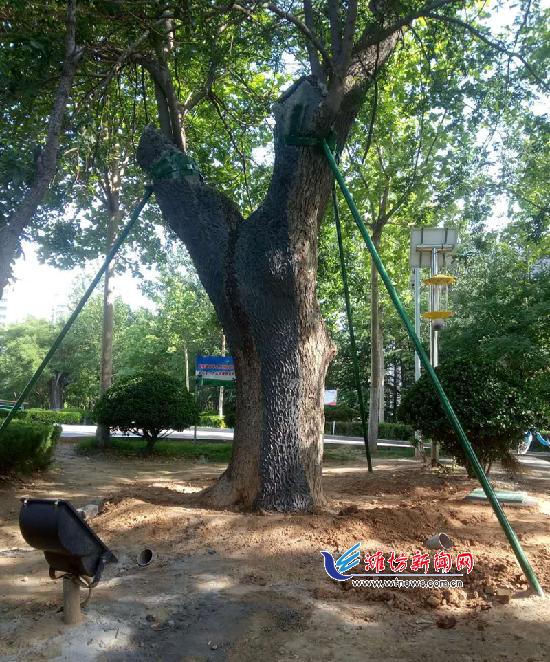 潍坊市园林处组织开展古树保护工作