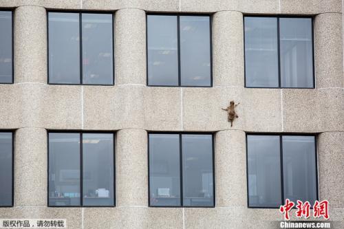 """执着攀爬25层高楼 小浣熊成""""网红"""""""