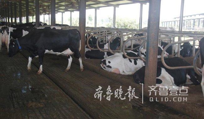 牛粪变废为宝,曹县种养结合生态循环养殖