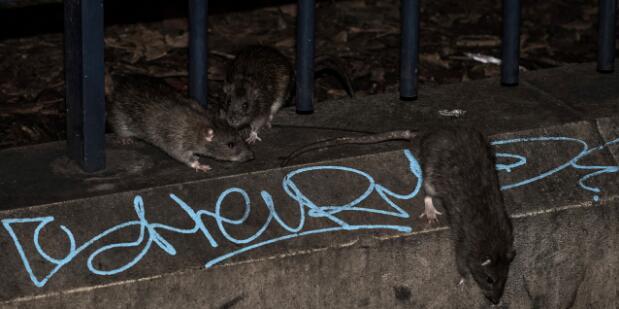 鼠满成患:巴黎一区开设网站 呼吁居民们报告鼠洞