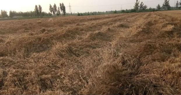 狂风暴雨突袭淄博 部分区县小麦发生倒伏