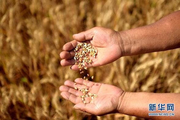 全国已收获小麦2.78亿亩 收获进度超八成