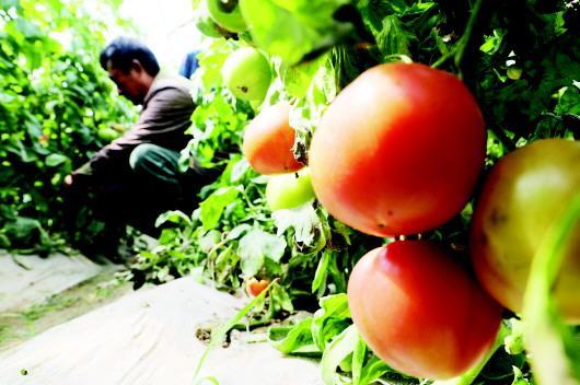 夏津县乐农有机蔬菜种植合作社基地内,工作人员在采摘、装箱发往香港的蔬菜。该基地严格遵循有机蔬菜生产标准,获得35个蔬菜品种有机认证。□记者 张海峰 王世翔 通讯员 董玉龙 报道