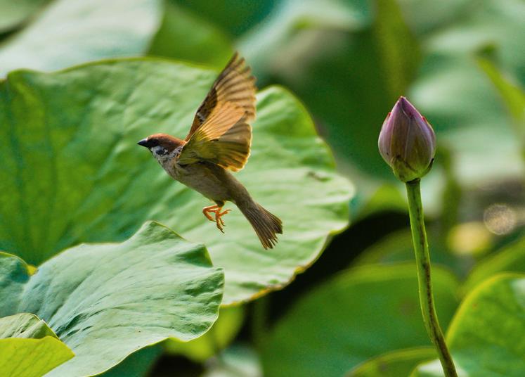 组图:夏至荷花渐开 小鸟花间嬉戏觅食