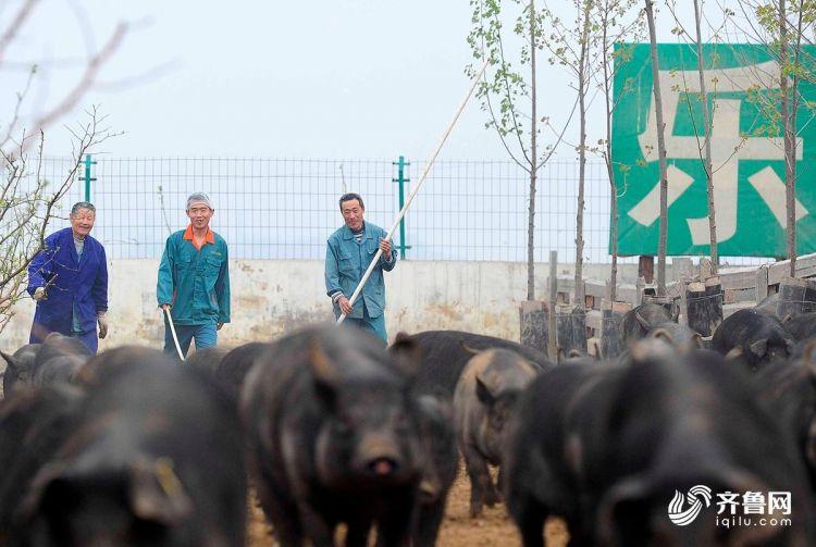 午饭过后,王元虎和员工们驱赶土猪进行饭后运动.jpg