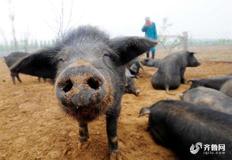 """在""""快乐饲养法""""的环境里生活惯了,这只可爱的小猪居然学会了冲着镜头眯眼作微笑状。.jpg"""