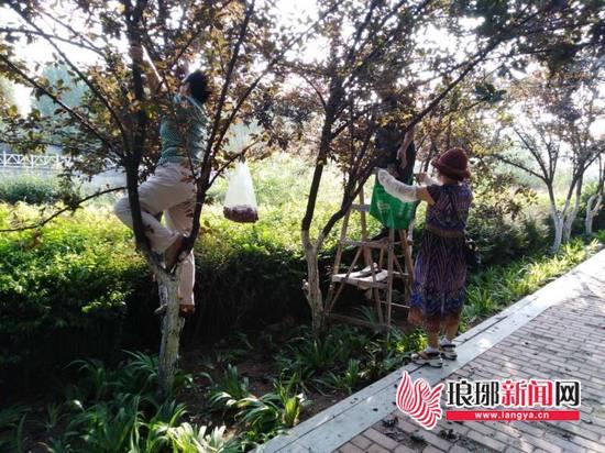 景观树紫叶李遭市民暴力摘果 临沂园林部门:不能吃