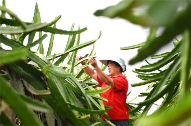 淄博10万亩特色种植助力农民增收