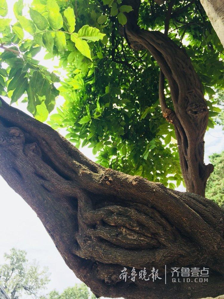 泰山脚下千年古藤,绿叶成荫