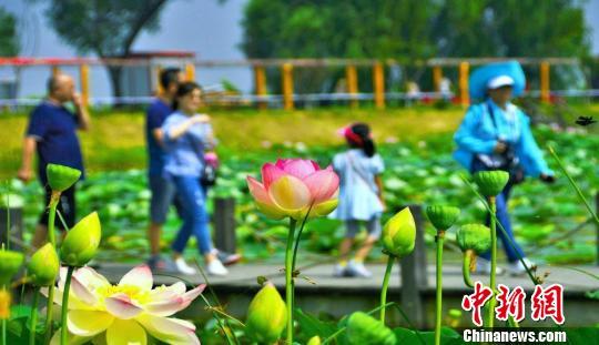 安徽淮南焦岗湖国家湿地公园千亩荷花绽放