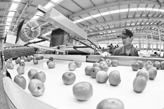 """提升品质开拓市场 山东苹果的""""圈粉""""路线图"""