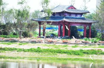 """生态恢复显成效 野生白鹭""""落户""""淄博高铁新城"""