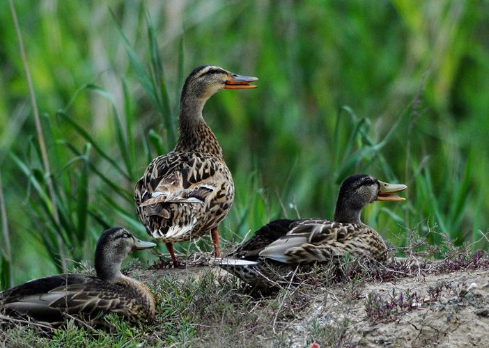青岛入海口湿地成为鸟类生态长廊