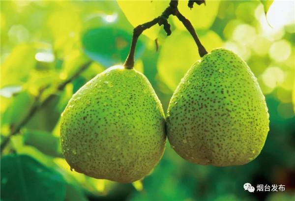 莱阳梨久负盛名。果肉细腻 ,汁水丰富,是梨中佳品。