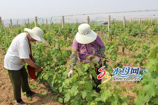 烟台蓬莱借标准化构建乡村产业体系