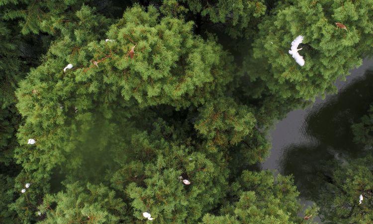 一行白鹭绿林间